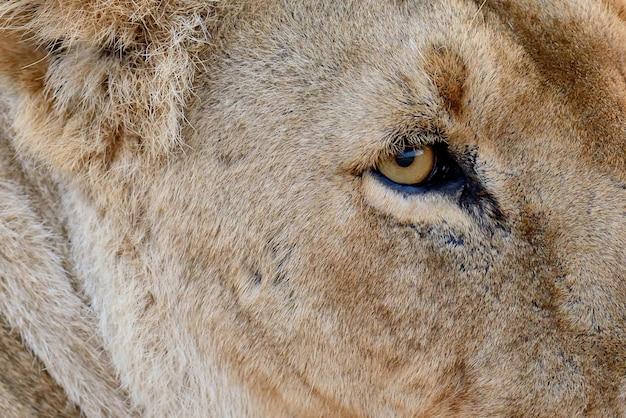 Zamknij lew w parku narodowym kenii, afryka