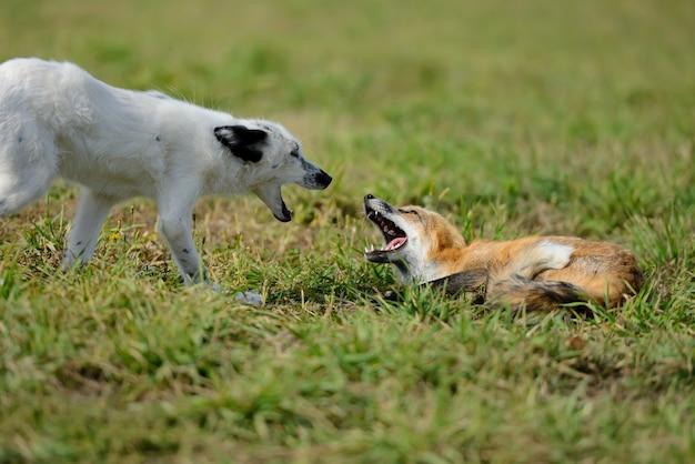 Zamknij lisa rudego w przyrodzie (vulpes vulpes)