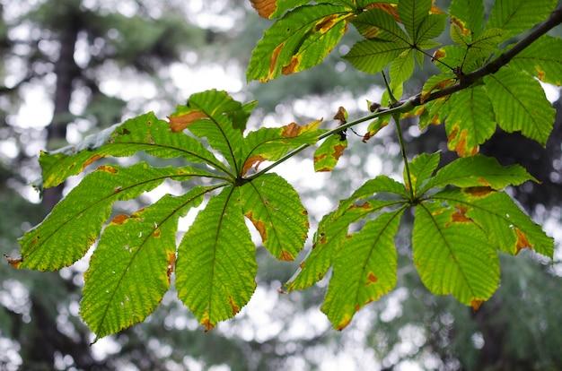 Zamknij liście kasztanów jesienią