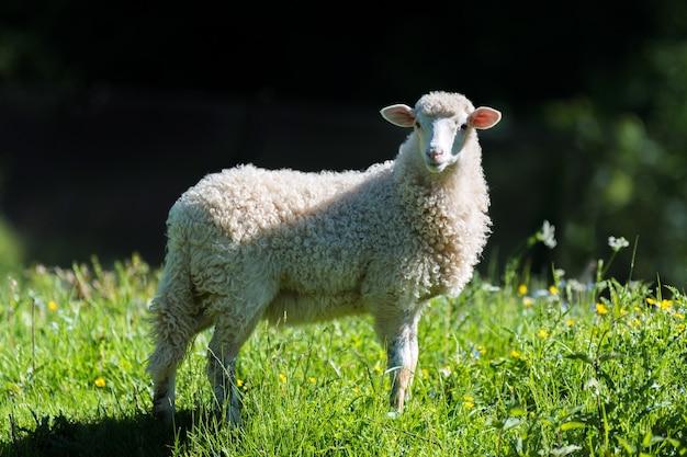 Zamknij młode owce na łące na farmie