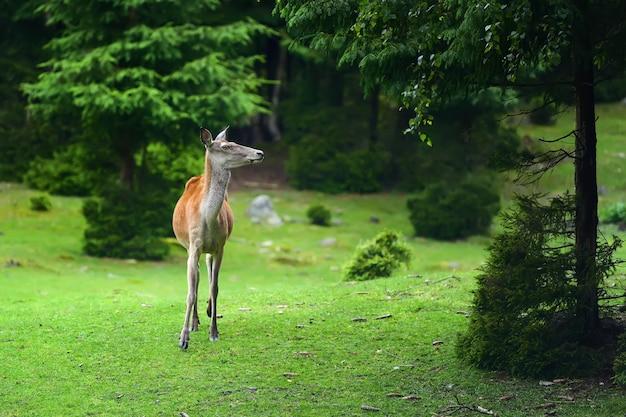 Zamknij młode samice jelenia w letnim lesie