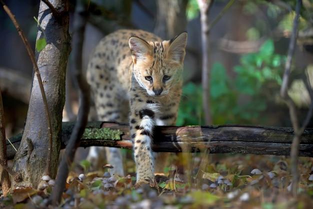 Zamknij młody kot serwal (felis serval)