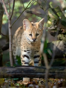 Zamknij młody serval cat