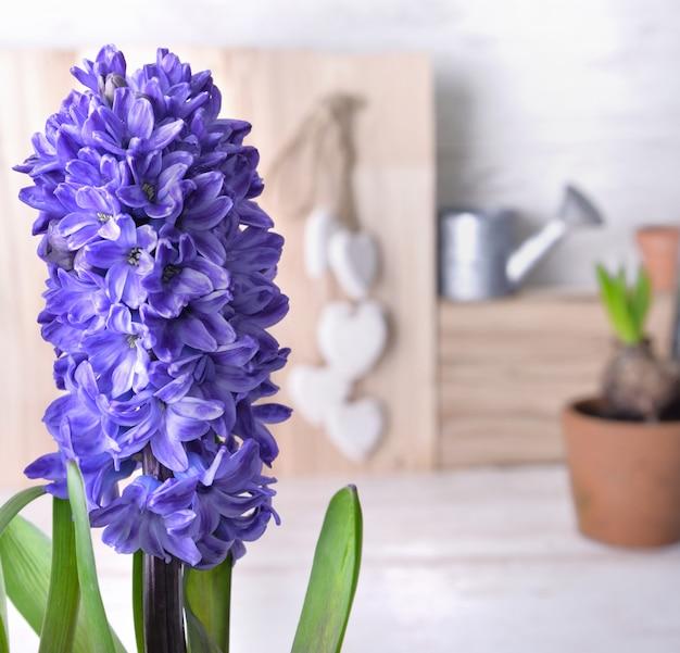 Zamknij na niebieski kwitnący hiacynt kryty przed doniczką i małą konewką