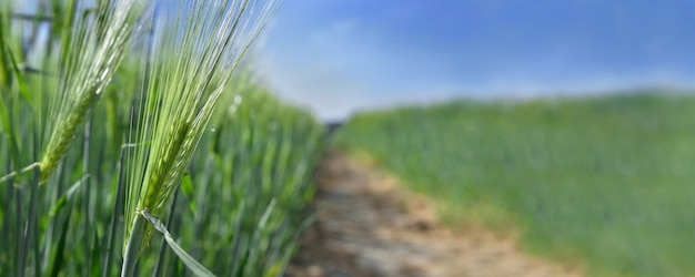 Zamknij na pszenicy rosnącej na polu obok ścieżki przecinającej pole