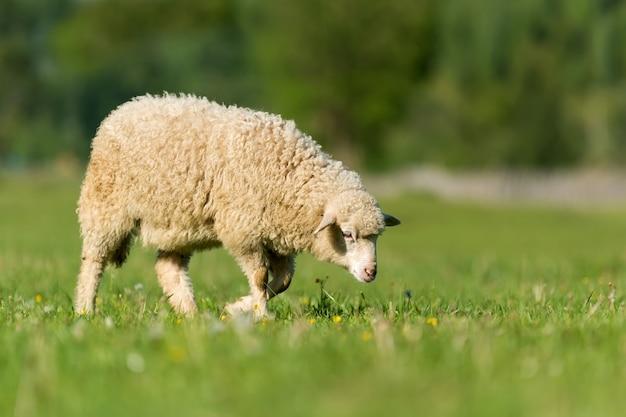 Zamknij owce na łące w górach