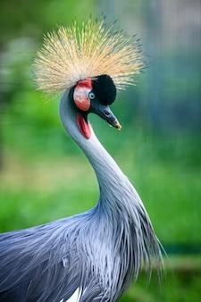 Zamknij piękny koronowany żuraw z niebieskim okiem i czerwoną akcją