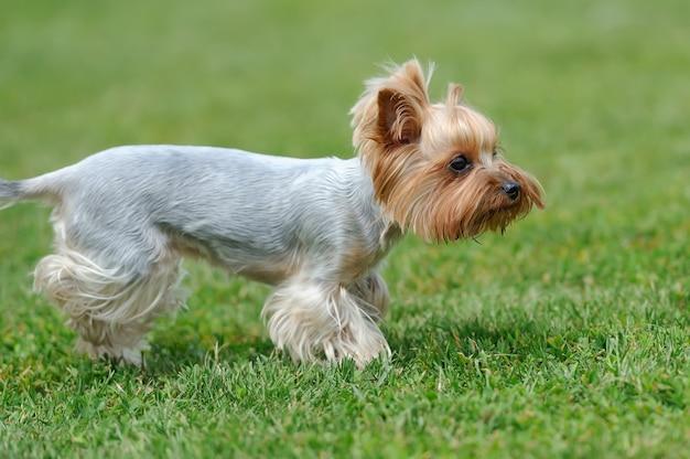 Zamknij pies yorkshire terrier w zielonej letniej trawie