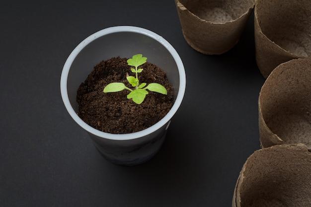Zamknij plastikową puszkę z młodą sadzonką pomidora w ziemi i pustymi tekturowymi puszkami