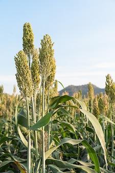 Zamknij pole sorgo lub proso, ważne upraw zbóż