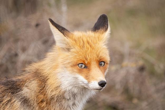 Zamknij portret rudego lisa. vulpes vulpes.