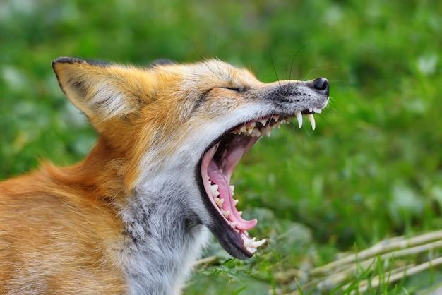 Zamknij portret rudego lisa w przyrodzie (vulpes vulpes)