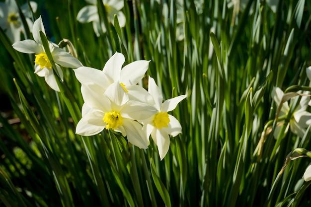 Zamknij si? bia? y kwiat narcyzów w wiosenny dzie ?.