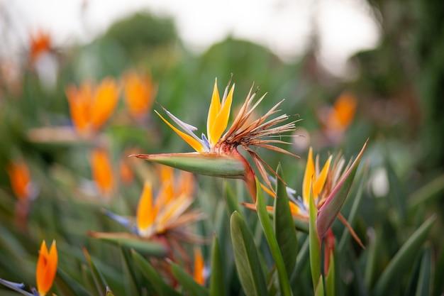 Zamknij si? kwiat bird of paradise strelitzia reginae kwiat w ogrodzie botanicznym w bangkoku