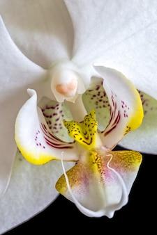Zamknij si? szczegó? ów bia? ej orchidei na czarnym tle