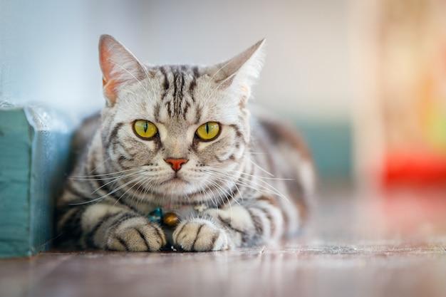 Zamknij się amerykański kot krótkie włosy.