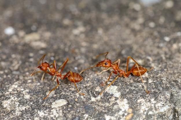 Zamknij się czerwona mrówka na cementowej podłodze