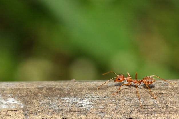 Zamknij się czerwona mrówka na drzewie w naturze