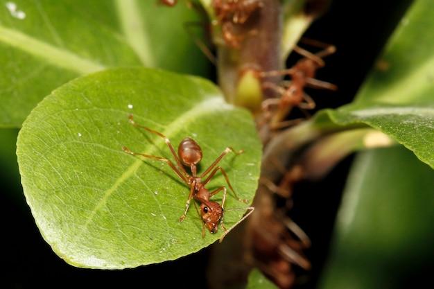Zamknij się czerwona mrówka na zielonych liściach w naturze