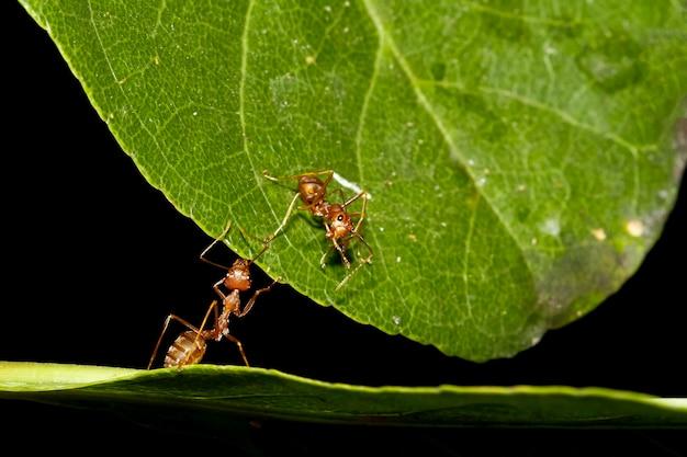 Zamknij się czerwona mrówka na zielonym liściu podnieś liść w naturze