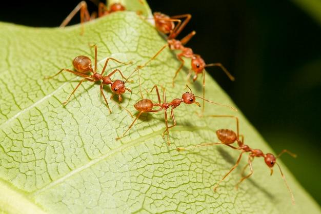 Zamknij się czerwona mrówka na zielonym liściu w przyrodzie w tajlandii