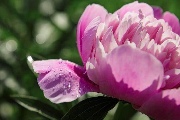 Zamknij się do pąka piwonii z kroplami rosy