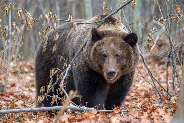 Zamknij się duży niedźwiedź brunatny w jesiennym lesie