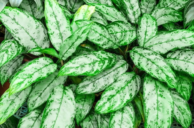 Zamknij się głupie liście trzciny cukrowej lub dieffenbachia, calathea-natura tło.