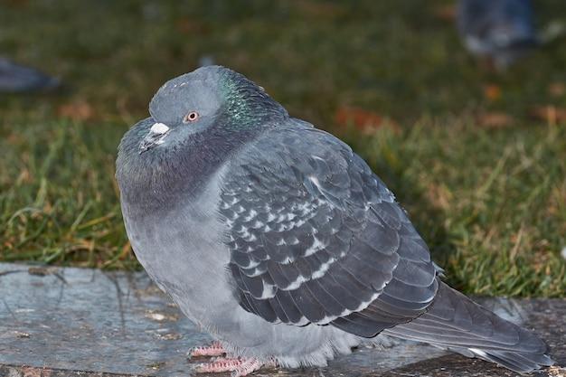 Zamknij się gołąb na trawniku na placu miejskim