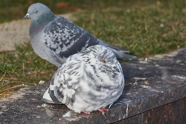 Zamknij się gołębie na trawniku na placu miejskim