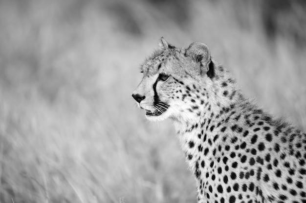 Zamknij się jednego geparda między trawą