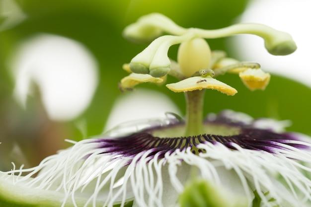 Zamknij się kwiat passion (passiflora incarnata)