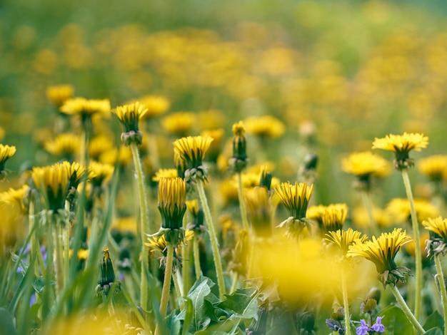 Zamknij się kwitnących żółtych kwiatów mniszka lekarskiego.