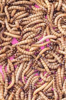 Zamknij się larwy mealworm do karmienia zwierząt. (np. ptaki, ryby, gady)
