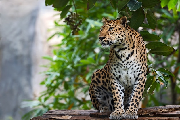 Zamknij się leopard.