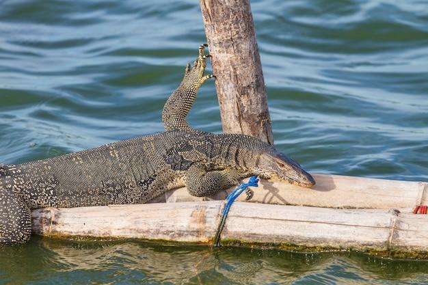 Zamknij się lizard monitor wody