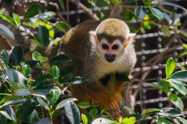 Zamknij się małpa wiewiórki w zoo