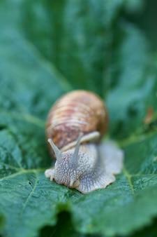 Zamknij się mały ślimak na zielonych liściach w ogrodzie