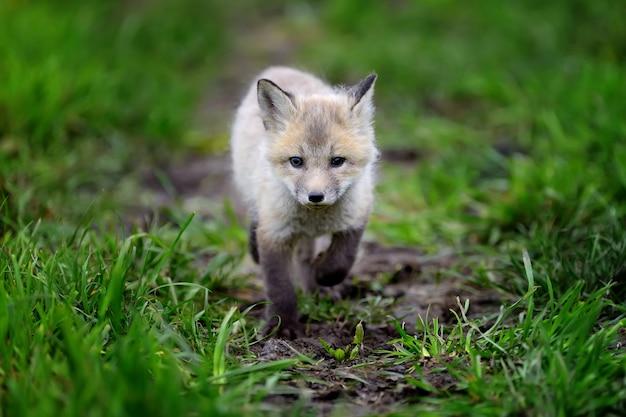 Zamknij się młode lisa w trawie