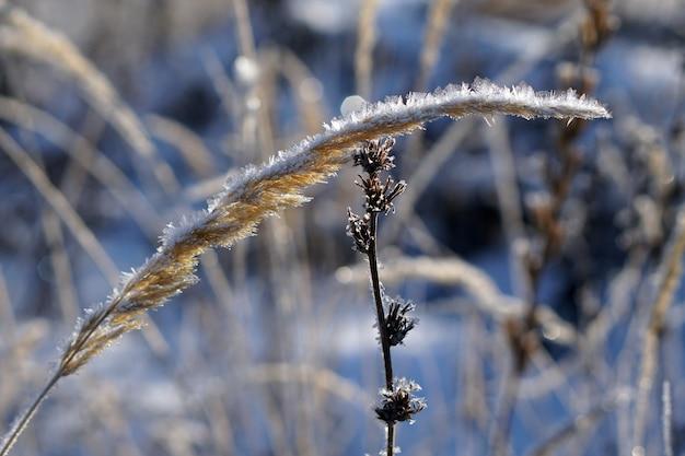 Zamknij się mrożona trawa pampasów ze śniegiem i lodem w zimowy dzień