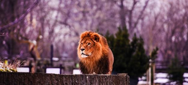 Zamknij się na afrykańskiego lwa płci męskiej w niewoli