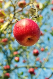 Zamknij się na dojrzałe jabłka na gałęzi z kroplami wody