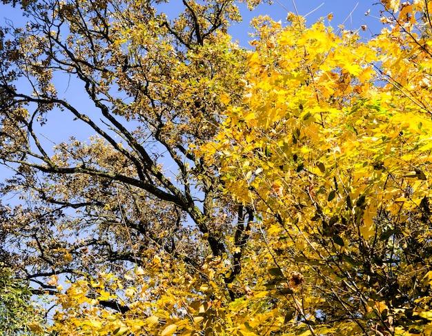 Zamknij się na drzewach pokrytych jesiennymi żółtymi liśćmi