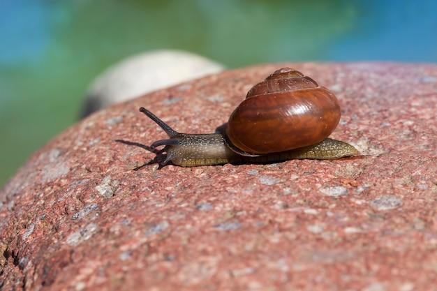Zamknij się na dzikim ślimaku na skałach