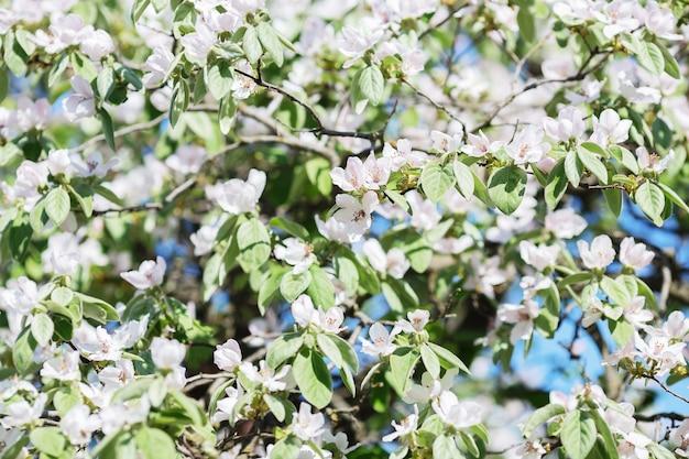 Zamknij się na gałęzi kwitnącej jabłoni