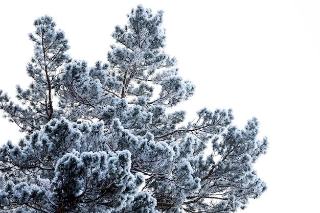 Zamknij się na górze pokryte śniegiem świerk w śniegu na tle