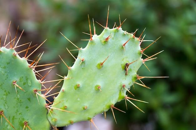 Zamknij się na kaktusie z wieloma kolcami
