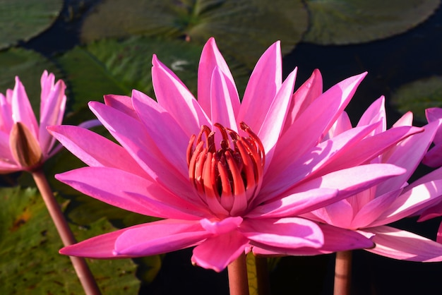 Zamknij się na kwiat różowy wody lilly