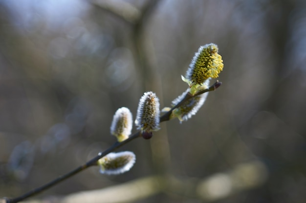 Zamknij się na pąkach na gałązce, która dopiero zaczyna kwitnąć na wiosnę.