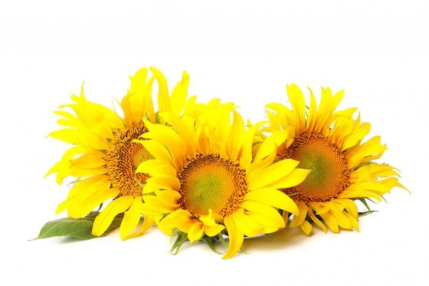 Zamknij się na piękne słoneczniki na białym tle